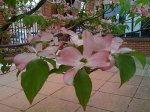 The dogwood outside the post office was in bloom when I mailed the squares.