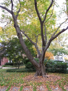 Maple Terrace Tree